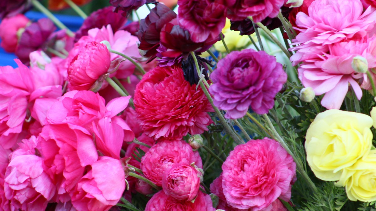 How to Grow Ranunculus in Zone 6 (and probably other places, too!)
